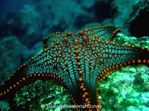 Cushion Sea Star, Isabela Island, Galapagos